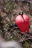 Magnificient Frigatebird on North Seymour Island