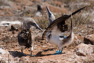 Dancing Blue-Footed Boobies