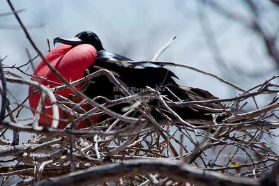 Male Magnificient Frigatebird