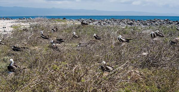 The next generation of Frigate Birds