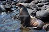 Sea Lion on South Plaza Island