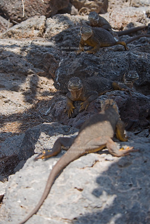 Iguanas on South Plaza Island