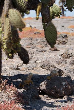 Galapagos Land Iguanas