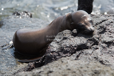 Sleepy young Sea Lion
