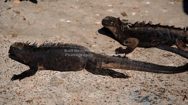 Galápagos Marine Iguanas
