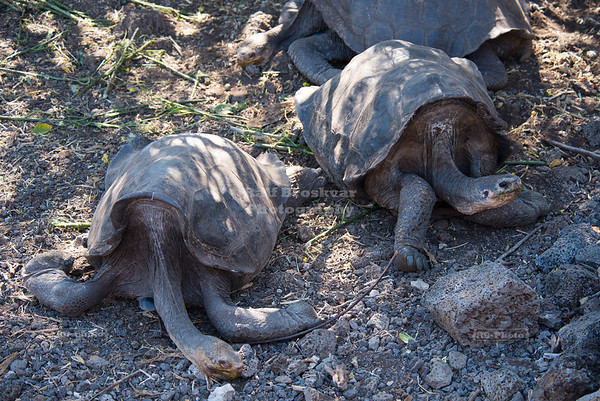Long-necked Giant Galápagos Tortoises