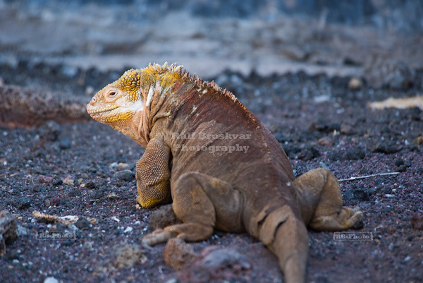 Galapagos Yellow Land Iguana