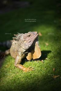 Iguana basking in the sunlight