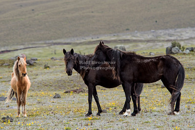 Wild horses in Cotopaxi National Park