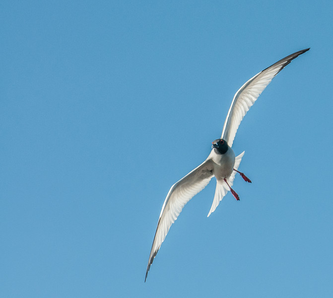 Swallow-tailed Gull in flight