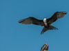 Juvenile Magnificent Frigatebird in flight