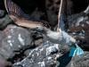 Blue-footed Booby read to take off