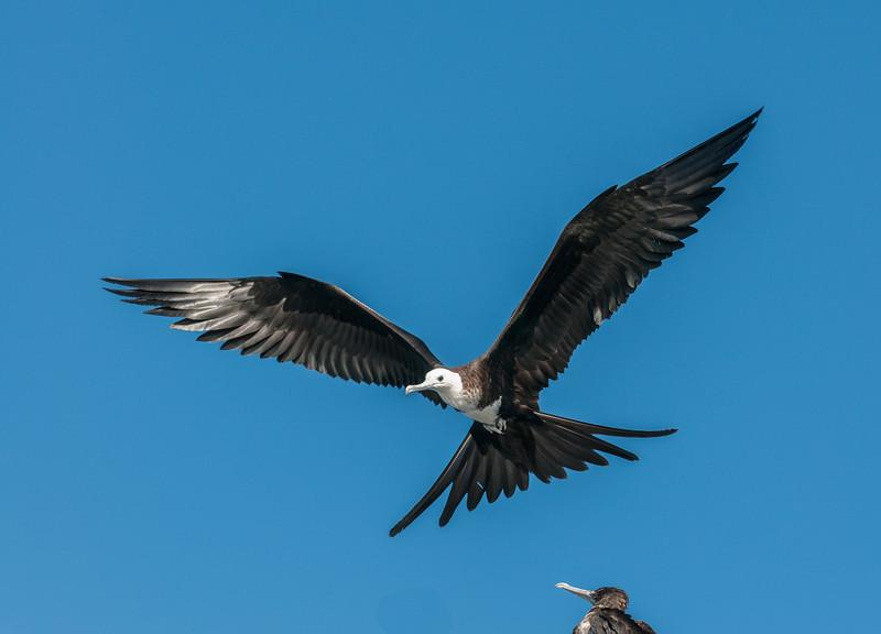Juvenile Magnificent Frigatebird in flight