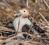 A juvenile Great Frigatebird