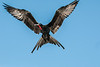 Male Great Frigatebird in flight
