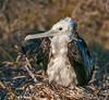 A juvenile Magnificent Frigatebird