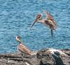 Brown Pelican coming in for a landing