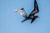 Swallow-tailed Gull going after a Male Great Frigatebird