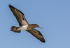 Juvenile Blue-footed Booby in flight
