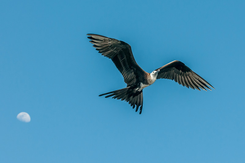 Juvenile Magnificent Frigatebird in flight. Yes, that's the moon!