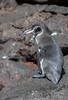 An adult Galapagos Penguin