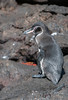 An adult Galapagos Penguin