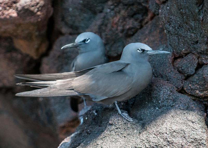 A pair of Lava Gulls