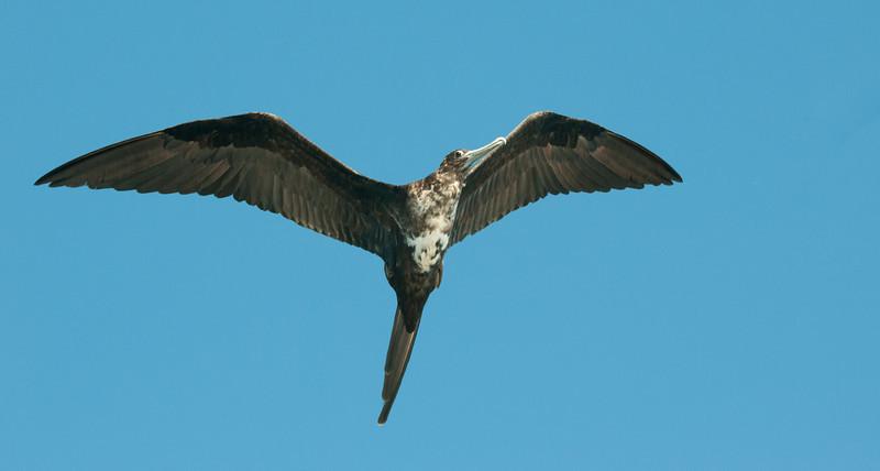 Juvenile Great Frigatebird in flight