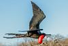 Male Great Frigatebird in flight