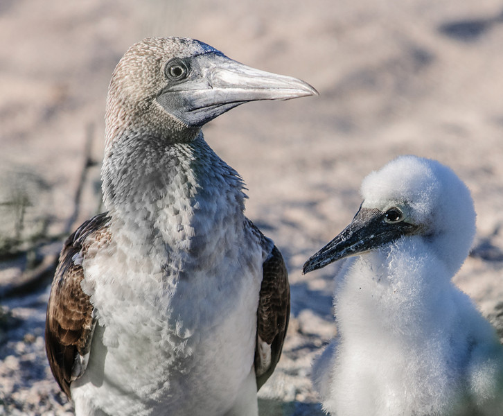 A baby and Mom Blue-footed Booby