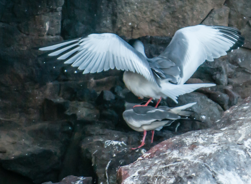 Swallow-tailed Gull mating