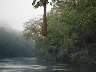 A pendulum bird nest hangs over the Rio Cuyabeno
