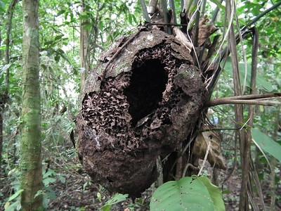 Termite nests are common