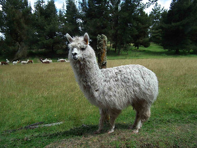 One of the llamas that greated this at the Boliche station where there was a nature reserve.