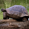 Giant Tortoise and Duck