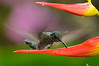 Brillante coroniverde hembra/ Green-crowned brilliant (<em>Heliodoxa jacula</span></em>)