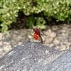 Lava Lizard - Small