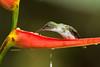 Hembra de colibrí de raquetas/ Booted racket-tail female (<em>Ocreatus underwoodii</span></em>)
