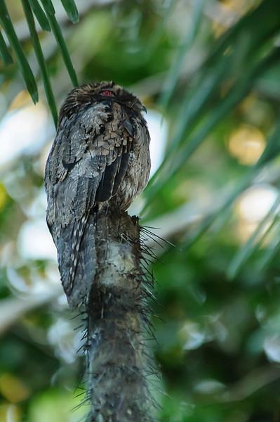 Nictibio común/ Common potoo (<em>Nyctibius griseus</span></em>)