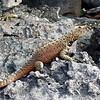 Lava Lizard - Large