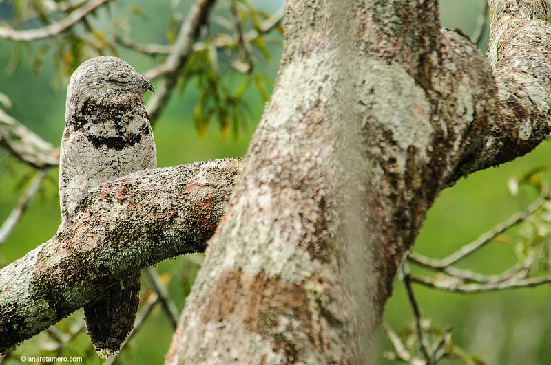 Nictibio grande / Great Potoo (<em>Nyctibius grandis</span></em>)