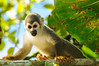 Mono ardilla común (<em>Saimiri sciureus</span></em>)/ Common squirrel monkey