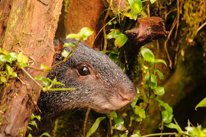Agutí o guatusa (<em>Dasyprocta fuliginosa</span></em>)/  Black agouti