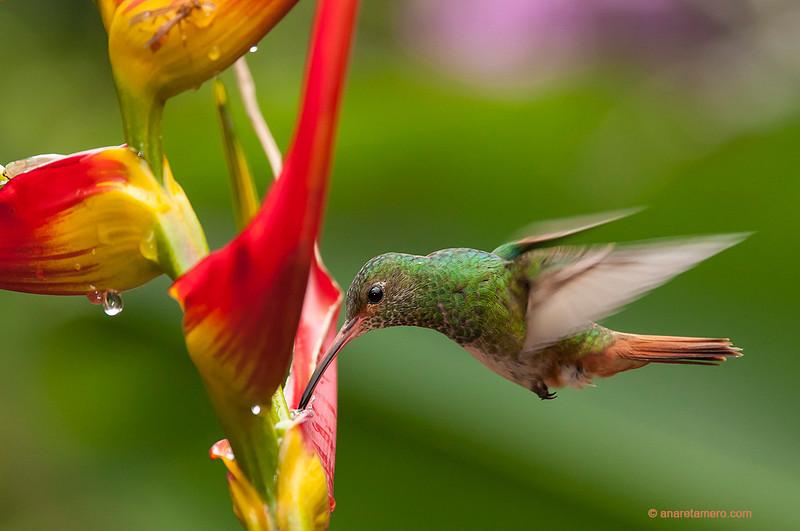 Amazilia colirrufa / Rufous-tailed humminbird (<em>Amazilia tzacatl</span></em>)