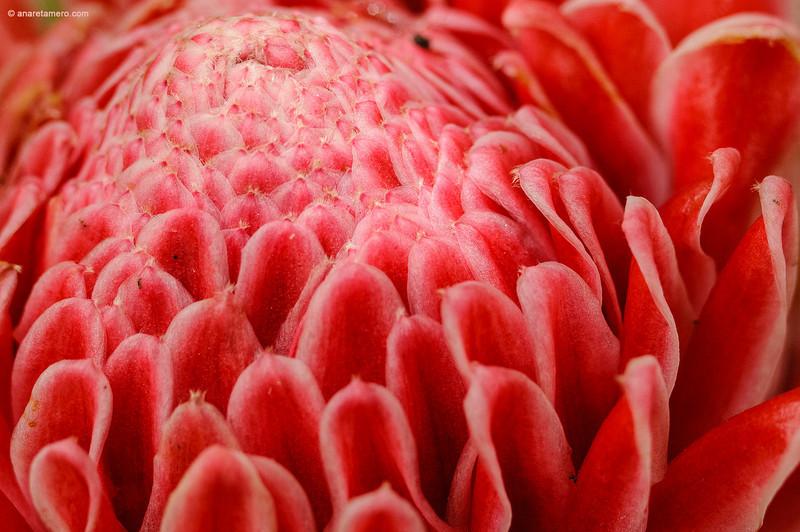 <em>Zingiberaceae etlingera</span></em>