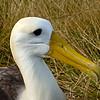 Albatross Close-Up