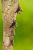 Murciélagos narigudos con crías (<em>Rhynchonycteris naso</span></em>) / Proboscis bat