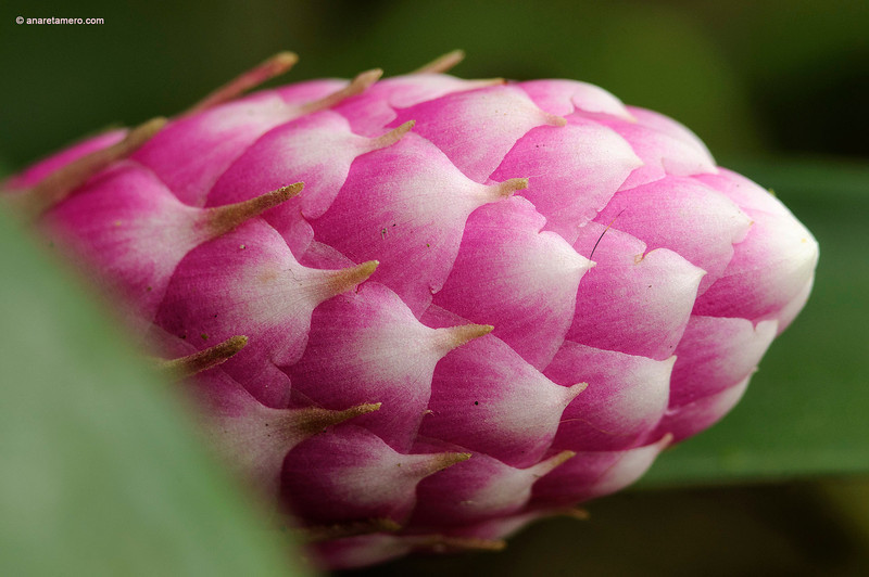 Flor de Bromelia