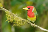 Barbudo cabecirrojo / Red-headed Barbet (<em>Eubucco bourcierii</span></em>)