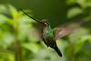Colibrí picoespada hembra (<em>Ensifera ensifera</span></em>) / Sword-billed hummnigbird female
